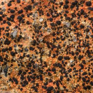 Van dichtbij, een oranje korstmos met zwarte vruchtlichamen.  - Fotograaf: Ron Poot