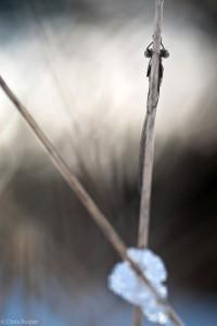 Probeer de omgeving bij de Winterjuffer te betrekken (Noordse Winterjuffer). - Fotograaf: Chris Ruijter