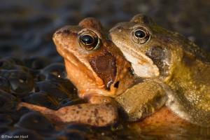 Portret van paartje bruine kikkers.  - Fotograaf: Paul van Hoof