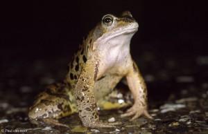 Mannetje bruine kikker tijdens de trek, met een grijze keel. Hij zit op de uitkijk naar vrouwtjes.  - Fotograaf: Paul van Hoof