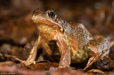 Common Frog (Rana temporaria) female on forest floor