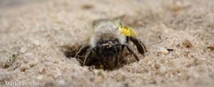 Vrouwtje grijze zandbij op haar nestingang. - Fotograaf: Mark van Veen
