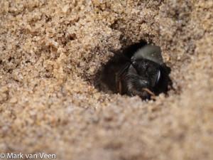 Angstvallig bewaakt de grijze zandbij haar nestingang. - Fotograaf: Mark van Veen