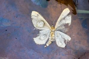 Verdronken vlinder, de paarsblauwe kleur is het olieachtige filmpje op het water.  - Fotograaf: Ron Poot