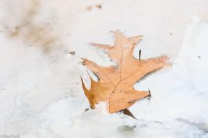 Blad van de amerikaanse eik, drijvend in een kwelslootje. Het reflecterende ijzerfilmpje op het water veroorzaakt een vervreemdend effect. - Fotograaf: Ron Poot