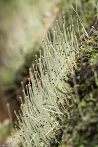 Massale bloei van sporenkapsels langs een beekoever. - Fotograaf: Ron Poot