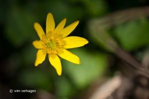 Eén enkele bloem afzonderlijk.  - Fotograaf: Wim Verhagen