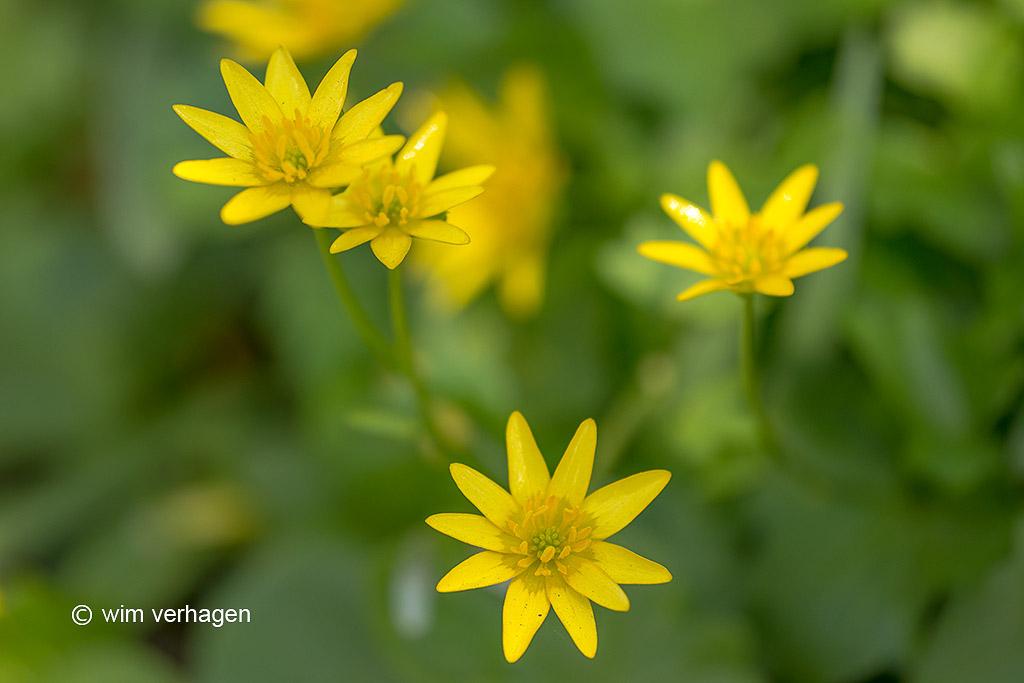 Met z'n kanariegele, stervormige bloemen is speenkruid een zeer attractief plantje.