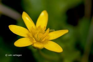 Close-up waarbij de gele meeldraden zichtbaar zijn. - Fotograaf: Wim Verhagen