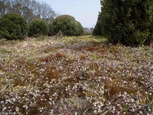 Massale bloei van vroegeling in een boomkwekerij. - Fotograaf: Ron Poot