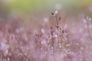 Na de bloei blijven de vliezige tussenschotten van de vruchten over.  - Fotograaf: Ron Poot