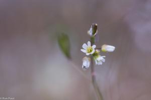 Detail van de bloemen van vroegeling - Fotograaf: Ron Poot
