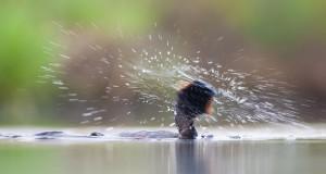 Geoorde futen schudden zich na het duiken vaak op, als je snel reageert kun je creatieve foto's maken.  - Fotograaf: Edo van Uchelen