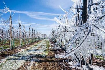 Beregende boomgaard verandert in ijssculptuur.