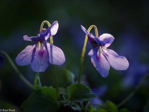 Tegenlichtopname van donkersporig bosviooltje. - Fotograaf: Ron Poot