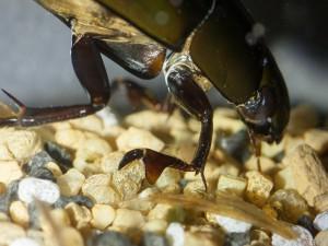 Mannetjes spinnende waterkevers verschillen van vrouwtjes doordat ze een plaatvormige haak hebben aan hun voorpoten. Daarmee verankeren ze zich tijdens de paring aan de zijkanten van het gladde schild van het vrouwtje. Andere waterkeversoorten kampen met hetzelfde probleem en hebben zuignappen ontwikkeld om hetzelfde te bereiken. - Fotograaf: Arno van Berge Henegouwen