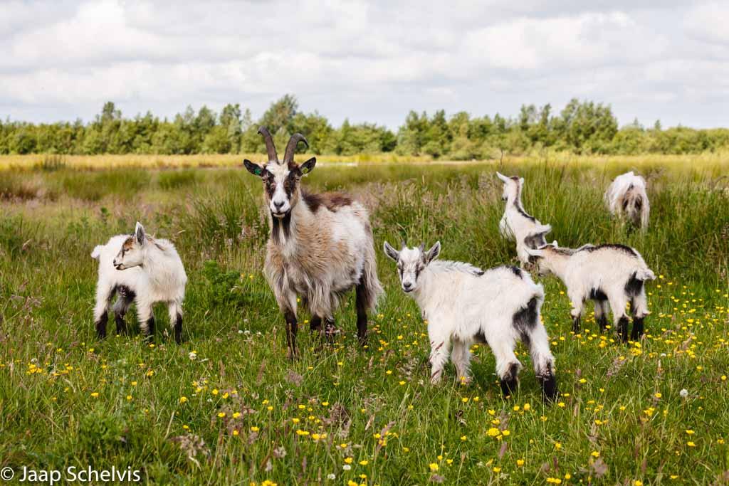 Nederlandse Landgeit; Dutch Landrace goat; Capra hircus