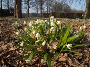 Zo bloeit lenteklokje, een stinzenplant die op landgoederen kunt tegenkomen. Met compactcamera genomen. - Fotograaf: Ron Poot