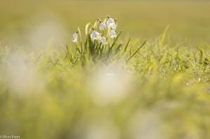 Lenteklokjes in een grasveld op het landgoed Weldam. In lichte warme kleuren afgewerkt. - Fotograaf: Ron Poot
