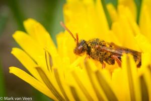 Bloemen bezoeken wespbijen alleen om zelf voedsel te zoeken. - Fotograaf: Mark van Veen