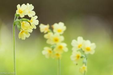 Slanke sleutelbloem;  True oxlip; Primula elatior
