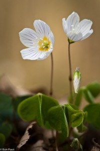 Een tweetal bloemen van bosklaverzuring. - Fotograaf: Ron Poot