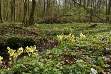 Het Samerrott eind april met onder meer veel sleutelbloemen.