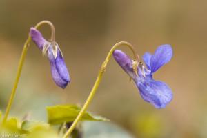 De donkere sporen aan de achterkant van de bloemen zijn goed te zien: donkersporig bosviooltje.  - Fotograaf: Ron Poot