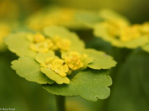 Bloem van verspreidbladig goudveil, close up. - Fotograaf: Ron Poot