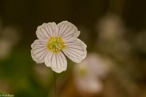 Een enkele bloem toont fraaie details, zoals de fijne lijntjes op de bloemblaadjes. - Fotograaf: Ron Poot