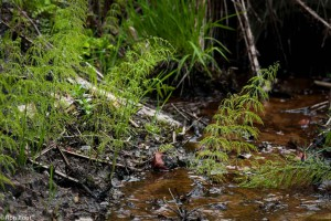 Bospaardenstaart in zijn natuurlijke omgeving, een kwelsloot in het bos. - Fotograaf: Ron Poot