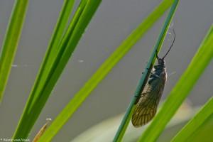 De eieren zet de Slijkvlieg onder op bladeren, boven het water af. - Fotograaf: Mark van Veen