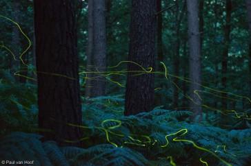 Kleine glimworm; Firefly; Lamprohiza splendidula