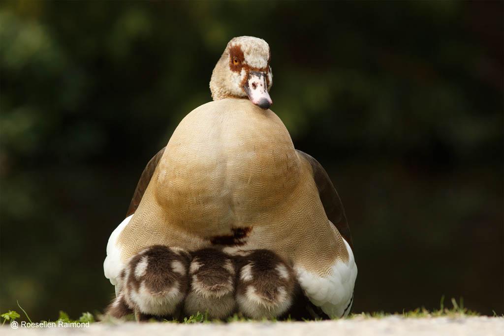 Moedernijlgans met gansjes