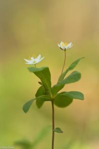 Een tweetal bloeiende bloemen met lichte achtergrond.  - Fotograaf: Ron Poot