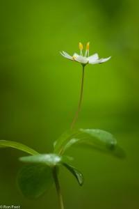 Zevenster in bloei met een dauwdruppel. - Fotograaf: Ron Poot