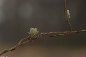 Ook in de winter is de kamperfoelie leuk voor een foto. - Fotograaf: Ron Poot