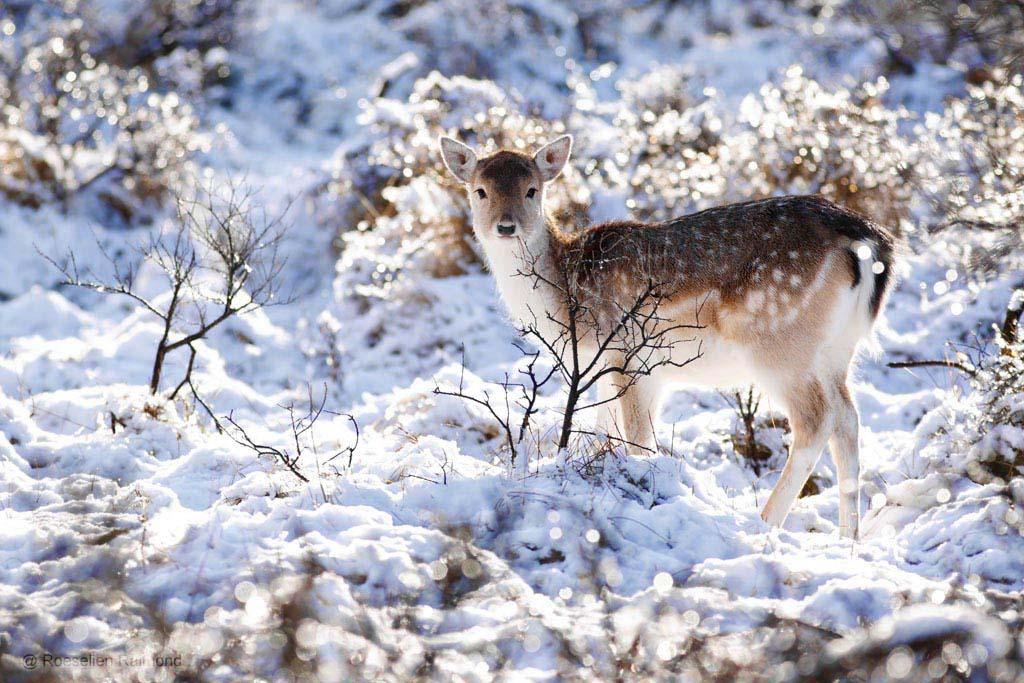 Damhert in een besneeuwd, winters landschap
