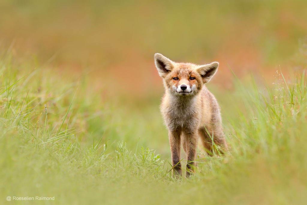 Jonge vossenwelp in het gras