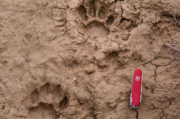 Pootafdrukken Luipaard met zakmes voor schaal