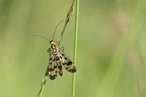 Bovenaanzicht, waarbij de mooi getekende vleugels goed te zien zijn. - Fotograaf: Ron Poot