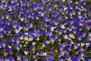 Driekleurig viooltje in massale bloei. - Fotograaf: Ron Poot