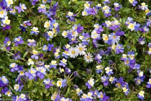 Driekleurig viooltje met in het midden een paar madeliefjes. - Fotograaf: Ron Poot