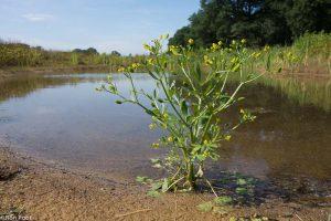 Blaartrekkende boterbloem is een echte pionier: een van de eerste planten in natuurontwikkelingsterreinen. - Fotograaf: Ron Poot