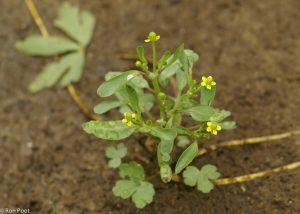 Jonge plant met bloemen, habitusfoto. - Fotograaf: Ron Poot