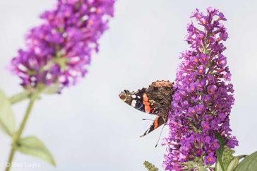 Bob_Luijks-vlinderstruik