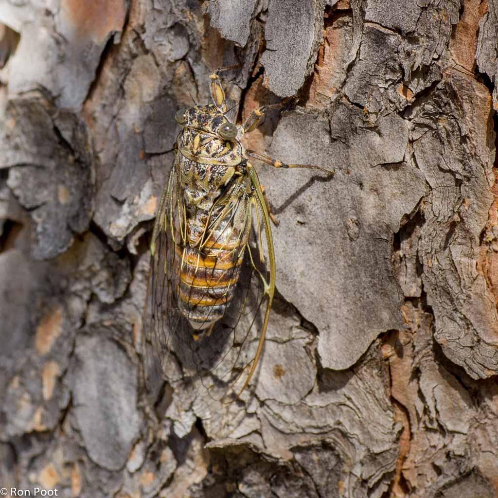 Kraakcicade