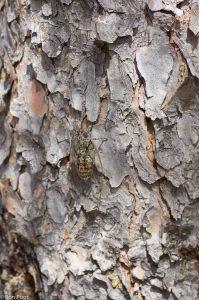 Bijna onzichtbaar op de bast van een den.  - Fotograaf: Ron Poot