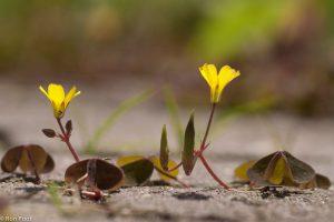 Het plantje kruipt over het terras en breidt zich zo gemakkelijk uit.  - Fotograaf: Ron Poot