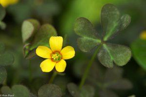 Macro opname van bloempje en blad, bovenaanzicht bloem. - Fotograaf: Ron Poot